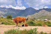 Vreedzame koe en kalveren — Stockfoto