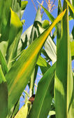 Maize leaves — Stock Photo