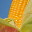 Stock Photo: Closeup on beautiful maize