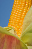 Closeup on beautiful maize — Stock Photo