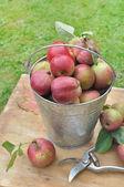 Hasat elma — Stok fotoğraf