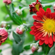 Stock Photo: Beautifull chrysanthemum