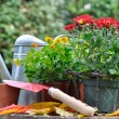 Potting autumn flowers — Stock Photo