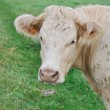 Foto Stock: Close on cow