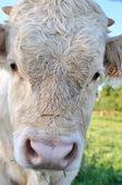 Calf portrait — Stock Photo
