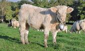 年轻小牛 — 图库照片