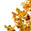 Stock Photo: Foliage of a maple
