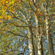 Sycamore in autumn — Stock Photo