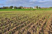 Field of wheat seedlings — Stock Photo
