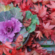 Brassica and maple leaves — Stock Photo