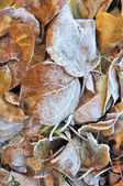 Leaf litter in winter — Stock Photo
