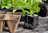 Lettuce plants — Stock Photo