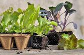 Seedlings for planting — Stock Photo