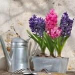 Hyacinths in metal pot — Stock Photo #42041067