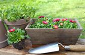 Planting daisies — Stock Photo