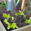 Lettuce in vegetable garden — Stock Photo