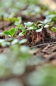 Radish sprouts — Stock Photo