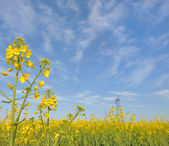 çiçekli kolza tohumu — Stok fotoğraf