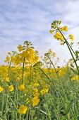 Flowering rapeseed — Stock Photo