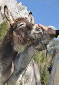 Cuddle a donkey — Stock fotografie