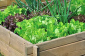Lettuce in vegetable patch — Stock Photo