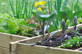 Seedlings in vegetable patch — Stock Photo