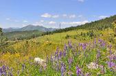 Dağlarında kır çiçekleri — Stok fotoğraf