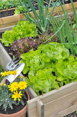 Lettuce in patch — Stock Photo