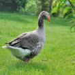 Domestic goose — Stock Photo #47201997