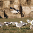 Gulls in wild — Stock Photo