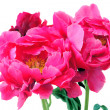Peony flowers closeup — Stock Photo