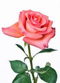 розовые розы — Стоковое фото