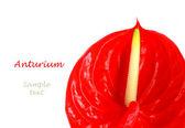 红 anturium — 图库照片