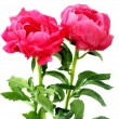 Peonies — Stock Photo #15440295