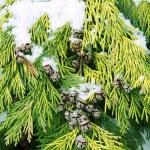 Fur-tree branch under snow — Stock Photo #2344590