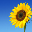 Sunflower against the dark blue sky — Stock Photo #2469063