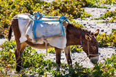 Head of donkey from Santorini — Stock Photo