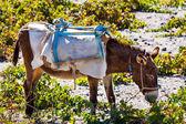 Head of donkey from Santorini — Stock Photo