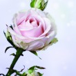 Pink roses — Stock Photo #35844045
