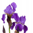 Violet flower iris — Stock Photo