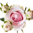 Pink roses — Stock Photo #35844155