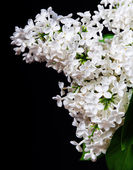 White lilac on a black background — Stock Photo