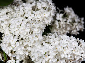 White lilac on a black background — ストック写真