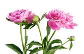 Rosa peonia — Foto Stock