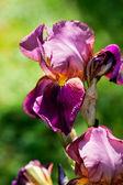 Violet flower iris — Stock Photo