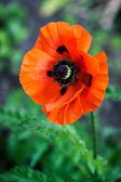 The poppies  — Stock Photo
