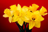 Daffodil flower or narcissus bouquet — Stock Photo