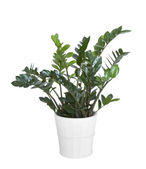 Zamioculcas zamiifolia plant with clipping path — Stock Photo