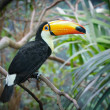 Постер, плакат: Toucan in a jungle
