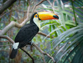 Toucan in a jungle — Stock Photo